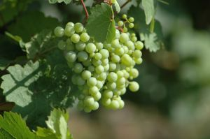 Moselwine Grapes