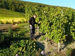 Moezel Wijnbouw