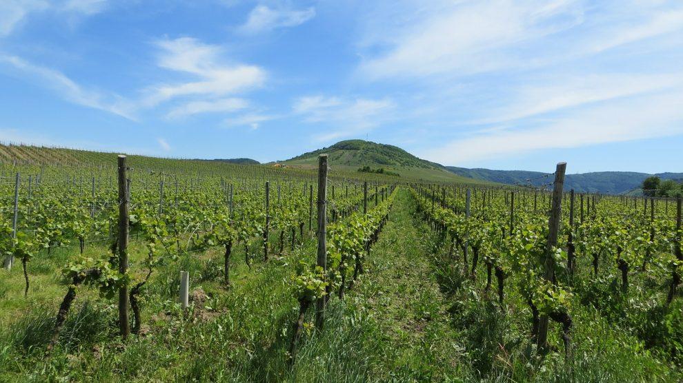Moezel wijnveld