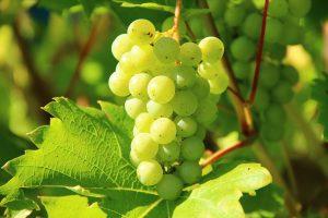 Moezel druiven