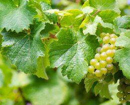 Moezel Wijn Druiven